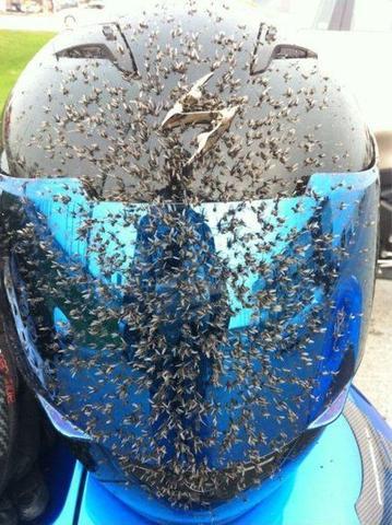 Fliegen-Heelm - (Insekten, Sicht)